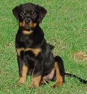 16 week old Rottweiler puppy with a natural tail
